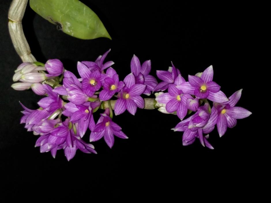 Dendrobium goldschmidtianum - jul2019 (3)