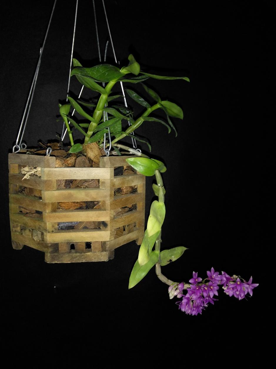 Dendrobium goldschmidtianum - jul2019 (5)