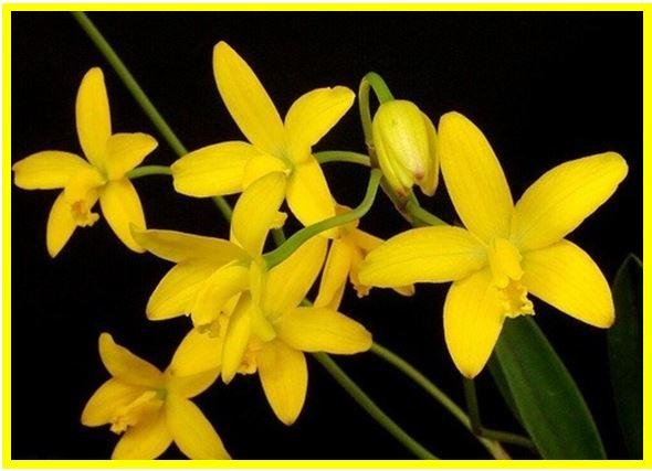 Anacheilium chacaoense - Hoffmannseggella briegeri JPG