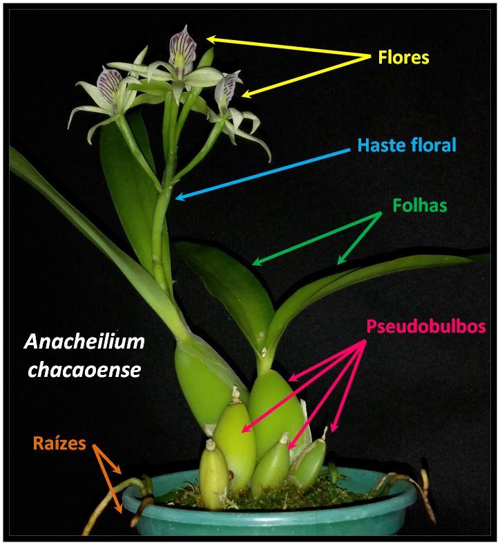 Anacheilium chacaoense - planta JPG