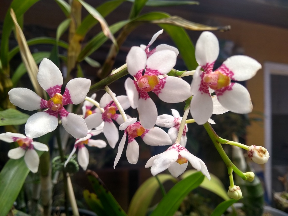 Sarcochilus Heidi - out2019 (12)