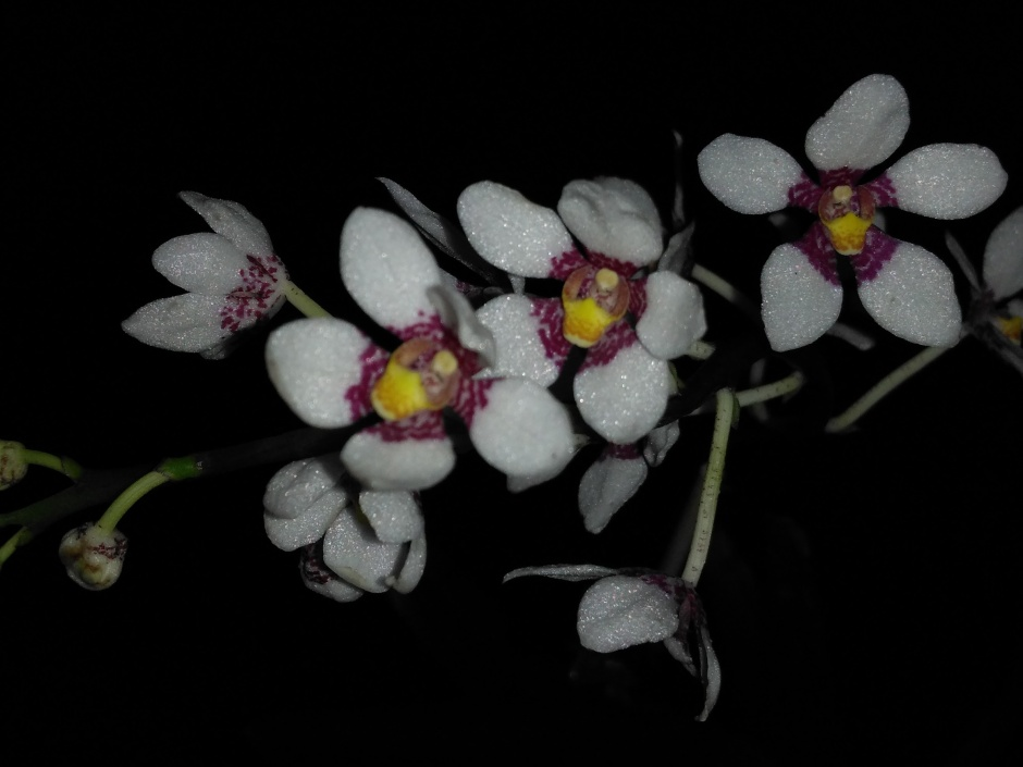 Sarcochilus Heidi - out2019 (4)