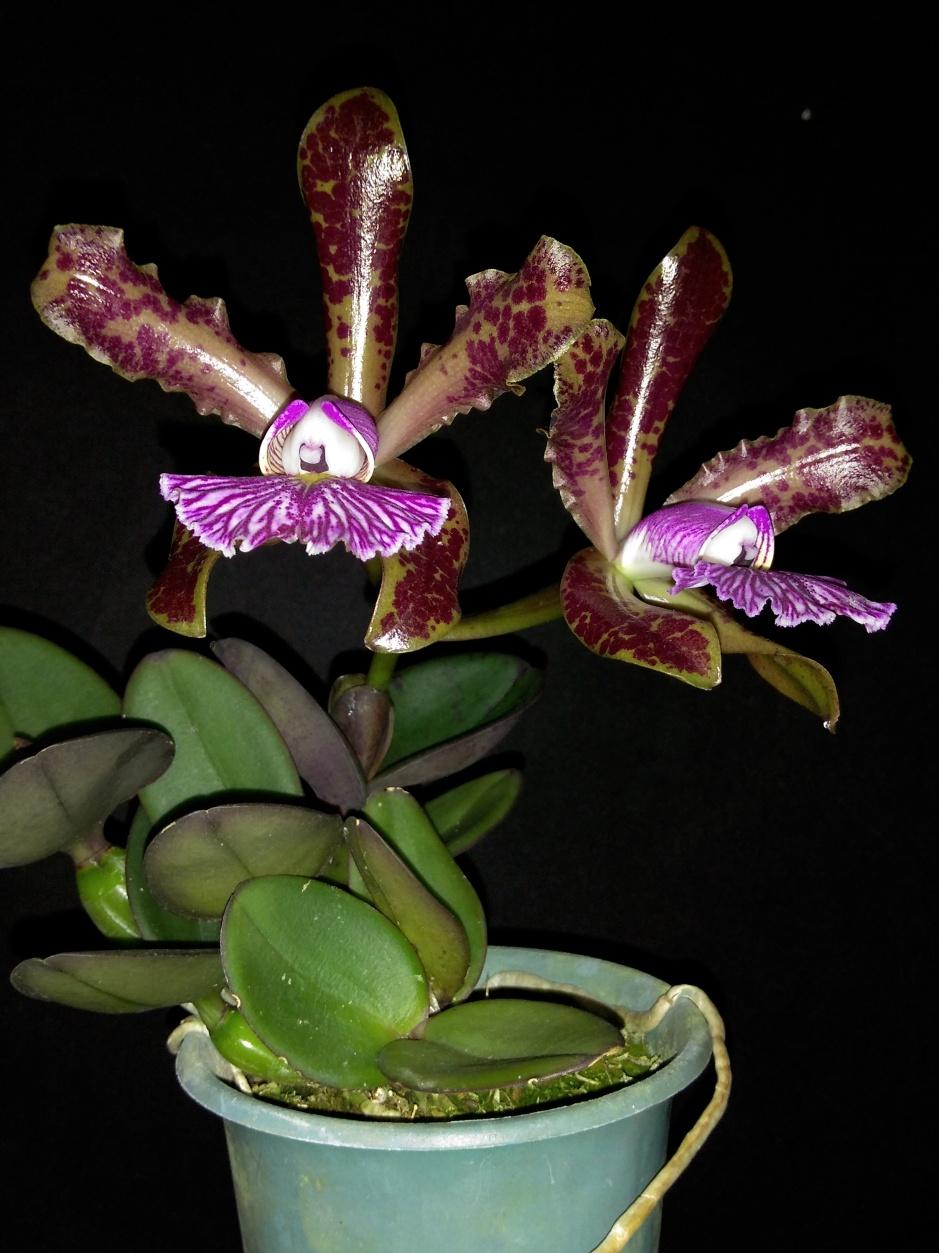 Cattleya schilleriana Alberto Basile - out2019 (3)