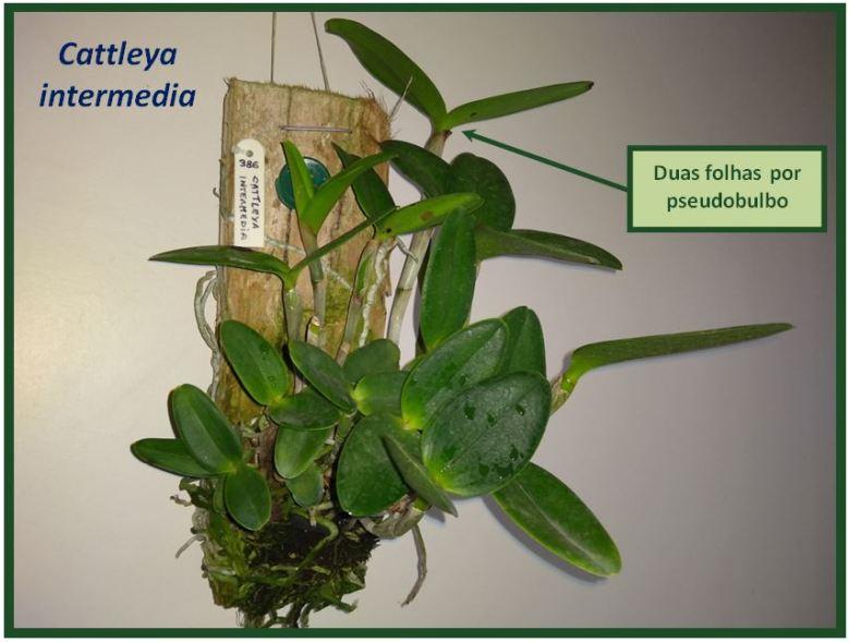 Cattleya schilleriana - bifoliada JPG