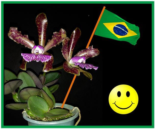 Cattleya schilleriana - Brasil JPG