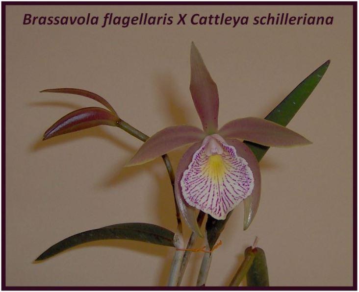 Cattleya schilleriana - Brassavola flagellaris X Cattleya schilleriana JPG