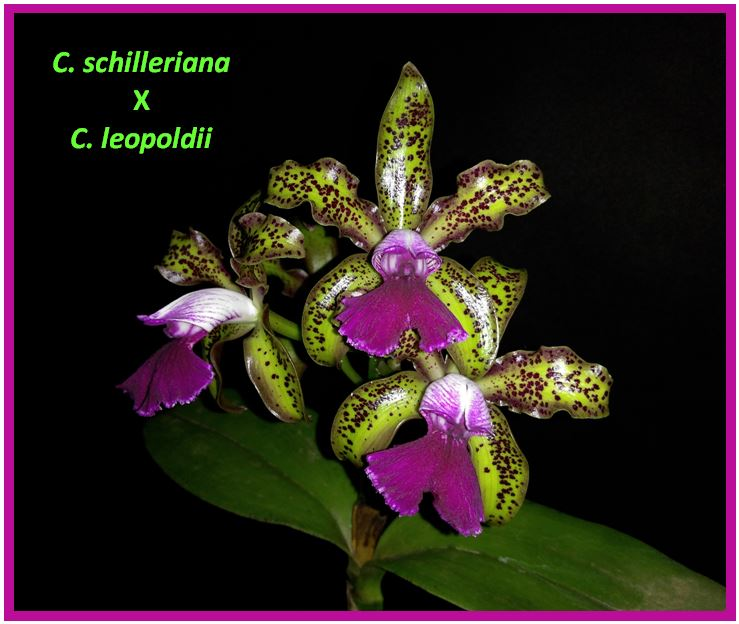 Cattleya schilleriana - C schilleriana x C leopoldii JPG
