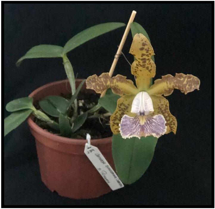 Cattleya schilleriana - Cattleya schilleriana coerulea JPG