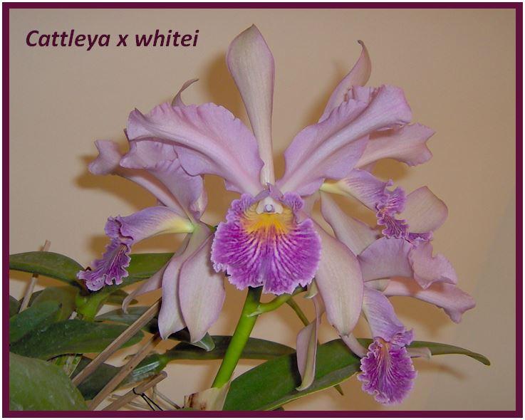Cattleya schilleriana - Cattleya Whitei JPG