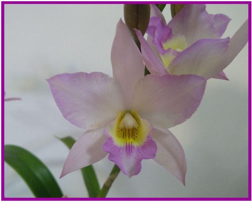 Cattleya schilleriana - Jackfowlieara Appleblossom JPG