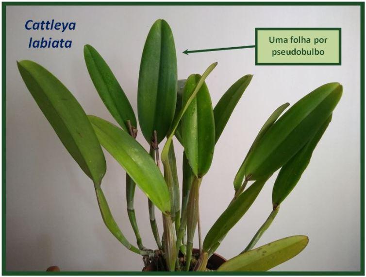 Cattleya schilleriana - monofoliada JPG