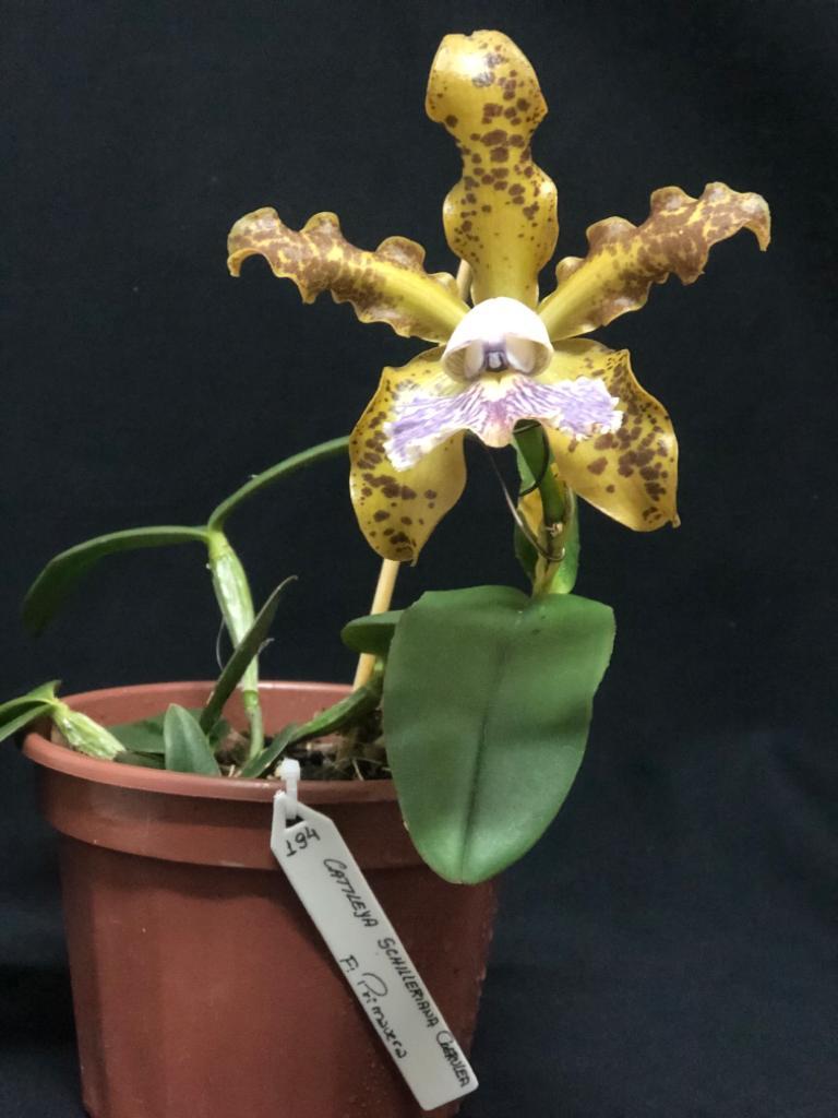 Cattleya schilleriana var coerulea - Neida e Paulo - out2019 (2)