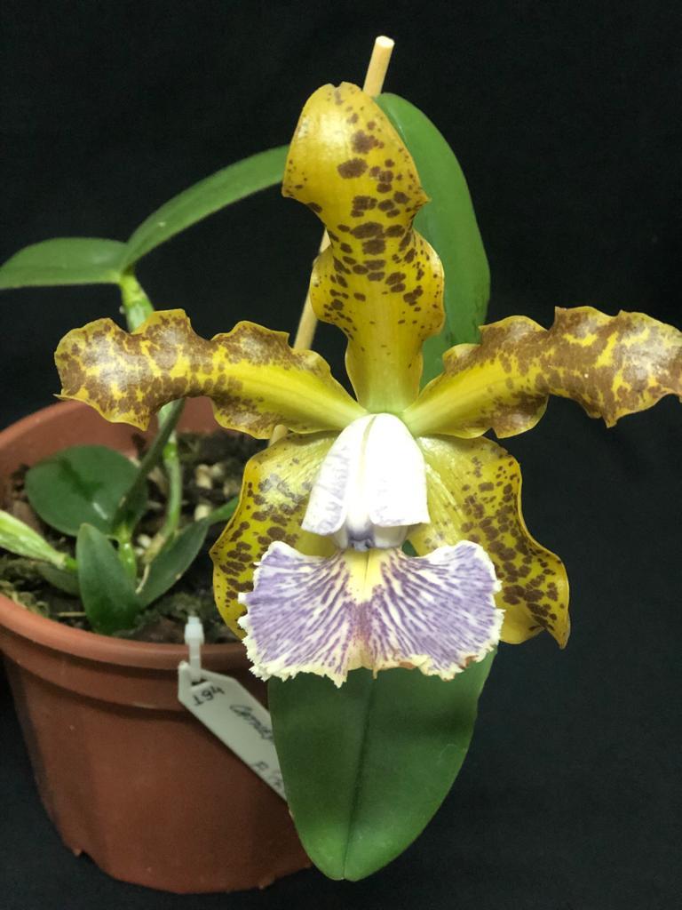 Cattleya schilleriana var coerulea - Neida e Paulo - out2019 (3)