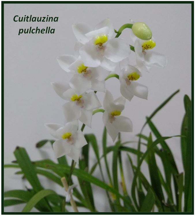 Odontoglossum krameri - Cuitlauzina pulchella JPG