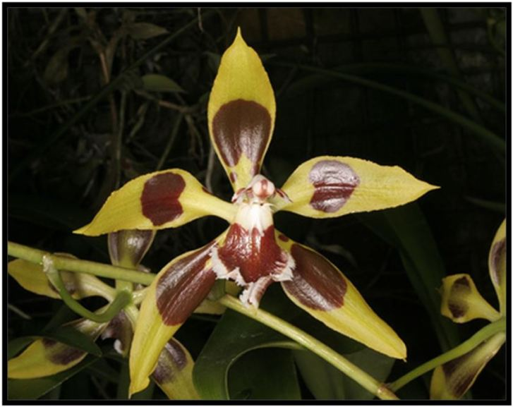 Odontoglossum krameri - Odontoglossum epidendroides JPG