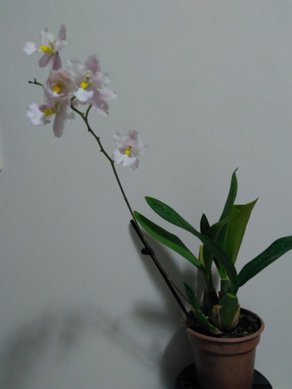 Odontoglossum krameri - out2019 (10)