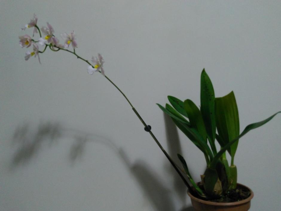 Odontoglossum krameri - out2019 (13)