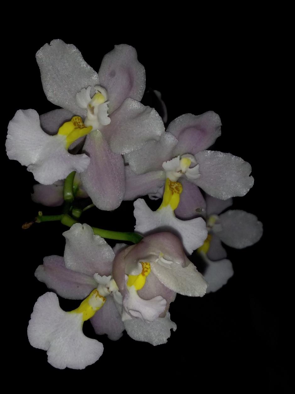 Odontoglossum krameri - out2019 (2)