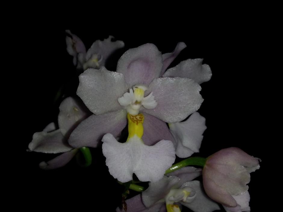 Odontoglossum krameri - out2019 (5)