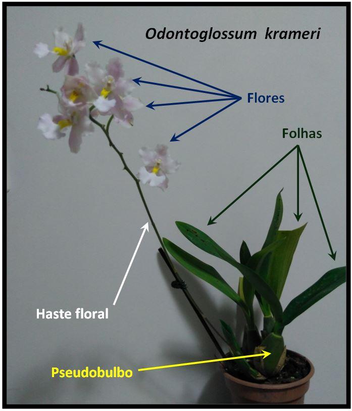 Odontoglossum krameri - planta JPG