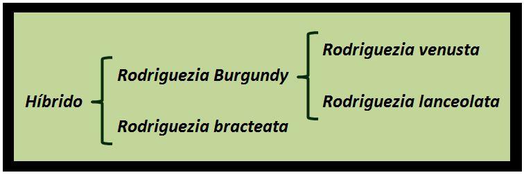 Rodriguezia pardina - Arvores 2