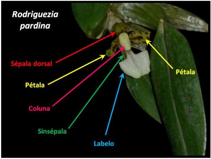 Rodriguezia pardina - flor JPG