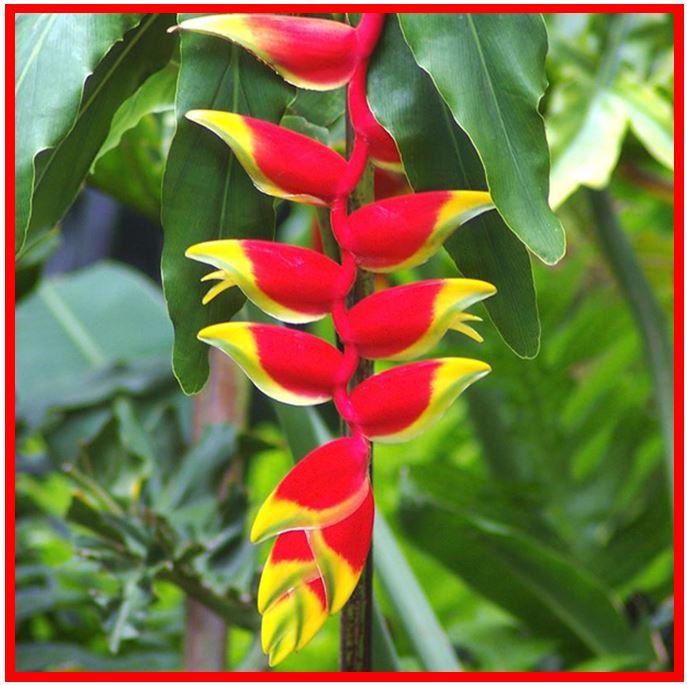 Rodriguezia pardina - Heliconia rostrata JPG