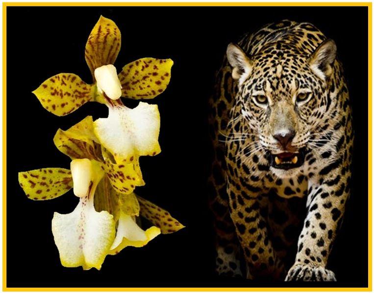 Rodriguezia pardina - leopardo JPG