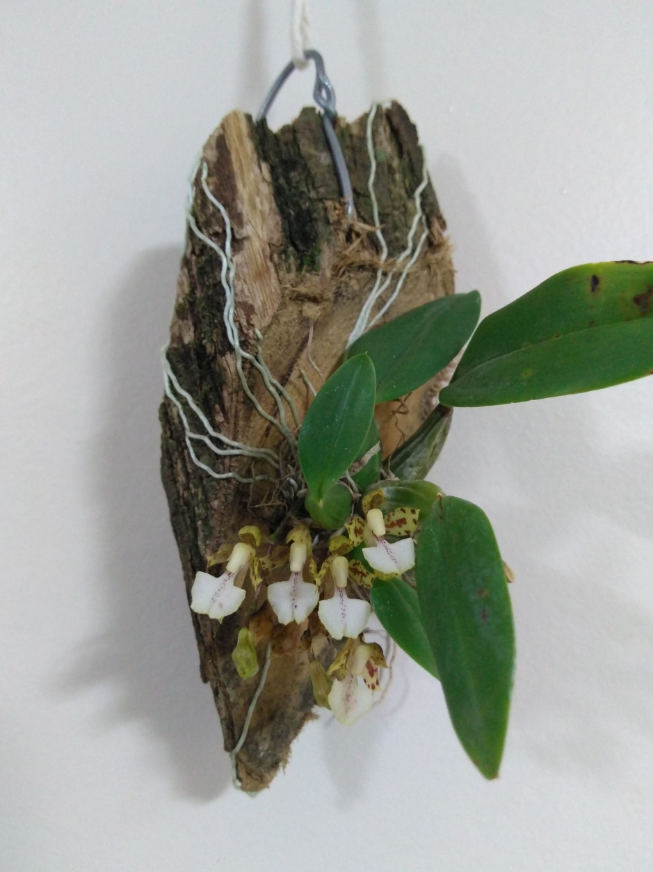 Rodriguezia pardina - oitibro 2019 (8)
