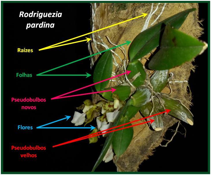 Rodriguezia pardina - planta JPG