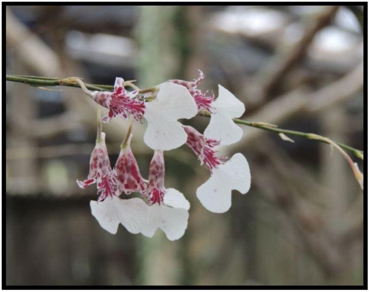 Rodriguezia pardina - Rodriguezia decora JPG