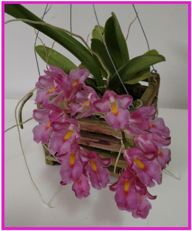 Rodriguezia pardina - Rodriguezia hibrida JPG