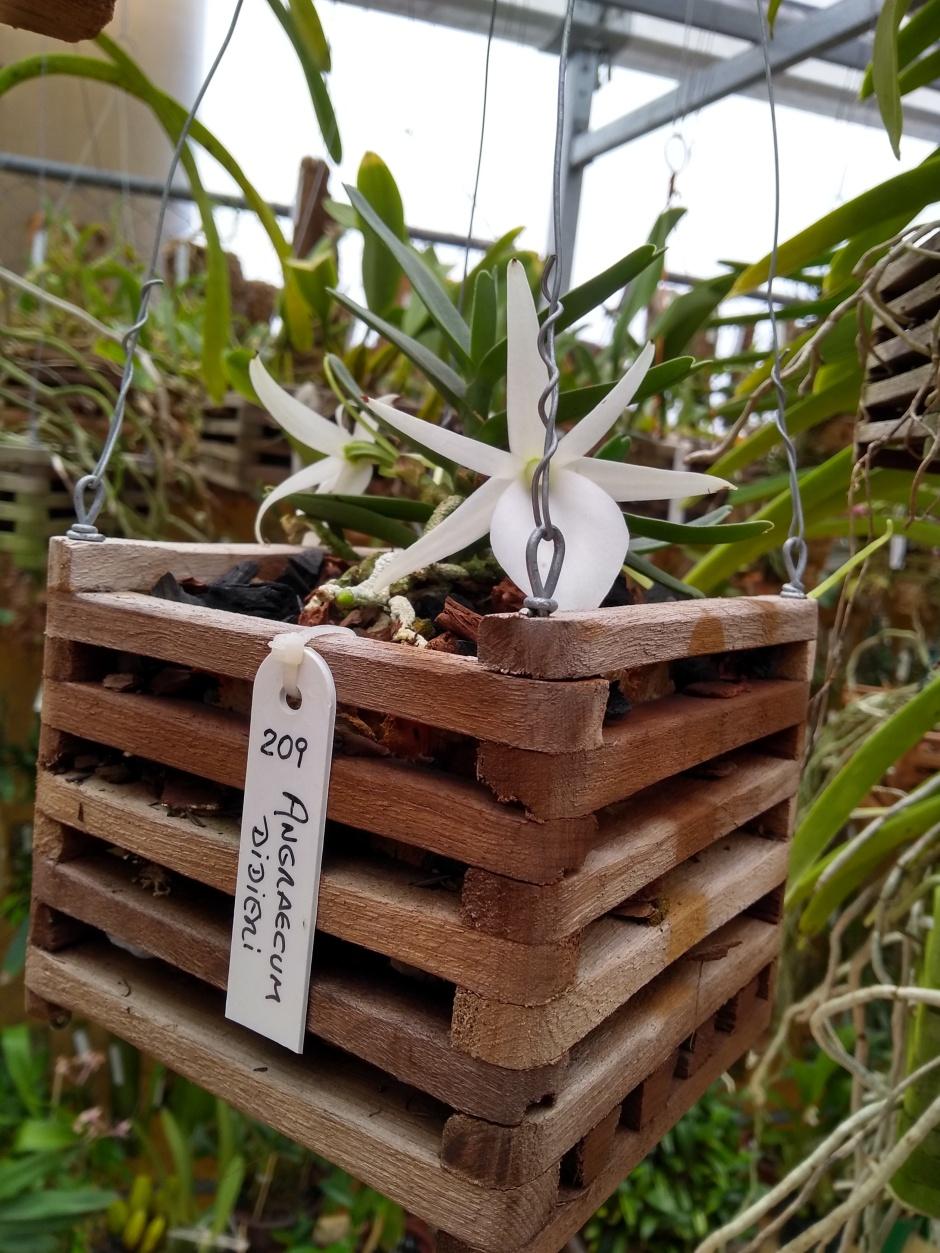 Angraecum didieri - 2 flores - nov2019 (10)
