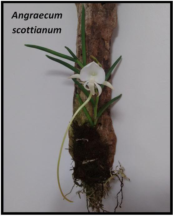 Angraecum didieri - Angraecum scottianum JPG
