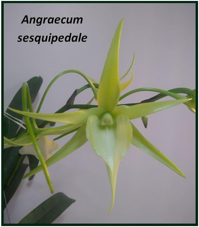 Angraecum didieri - Angraecum sesquipedale JPG