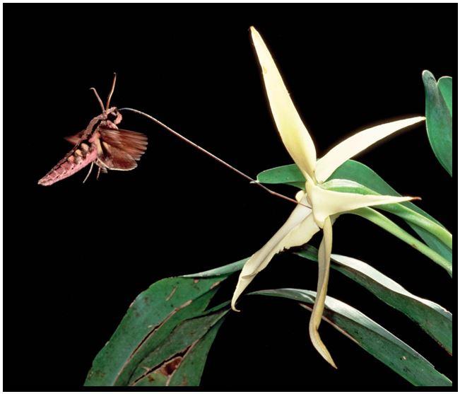 Angraecum didieri - Mariposa-esfinge JPG
