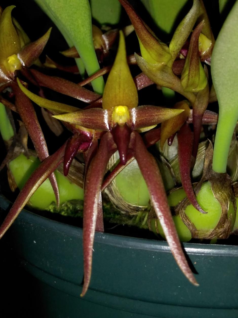 Bulbophyllum nymphopolitanum (1)