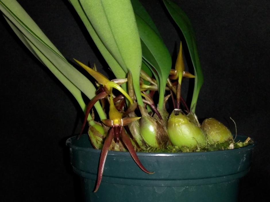 Bulbophyllum nymphopolitanum (4)