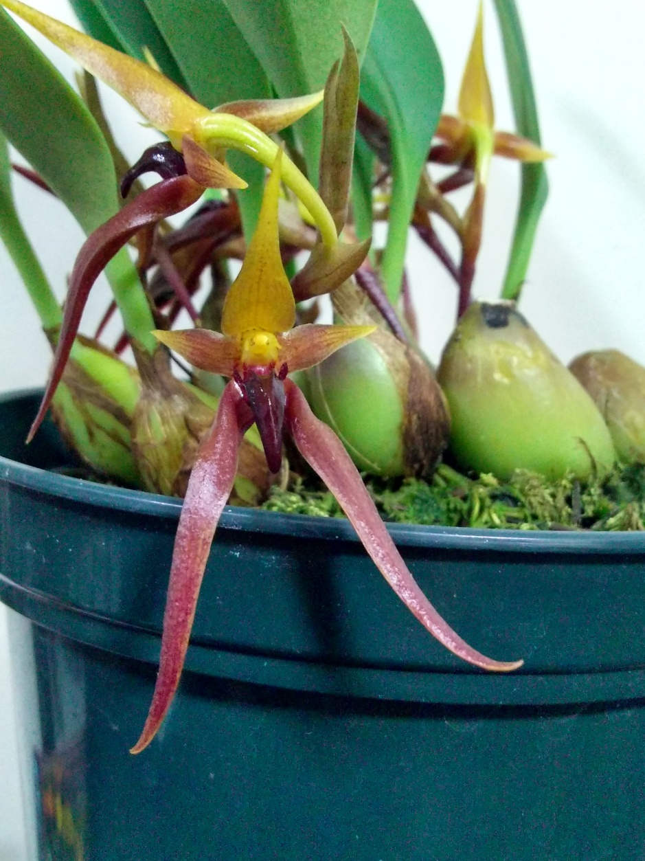 Bulbophyllum nymphopolitanum (8)