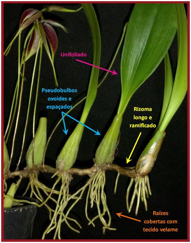 Bulbophyllum nymphopolitanum - Bulb Blumei JPG