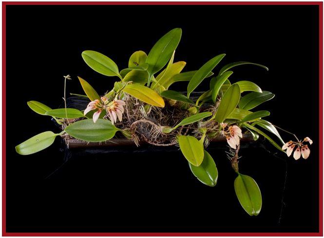Bulbophyllum nymphopolitanum - Bulbophyllum longiflorum JPG