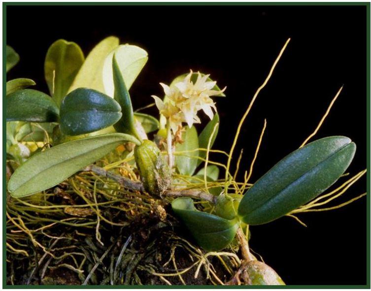 Bulbophyllum nymphopolitanum - Bulbophyllum nutans JPG