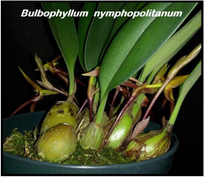 Bulbophyllum nymphopolitanum - bulbos JPG