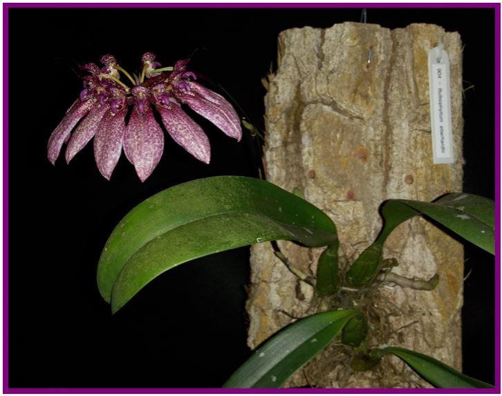 Bulbophyllum nymphopolitanum - inflorescências 1