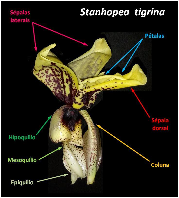 Stanhopea tigrina - flor JPG