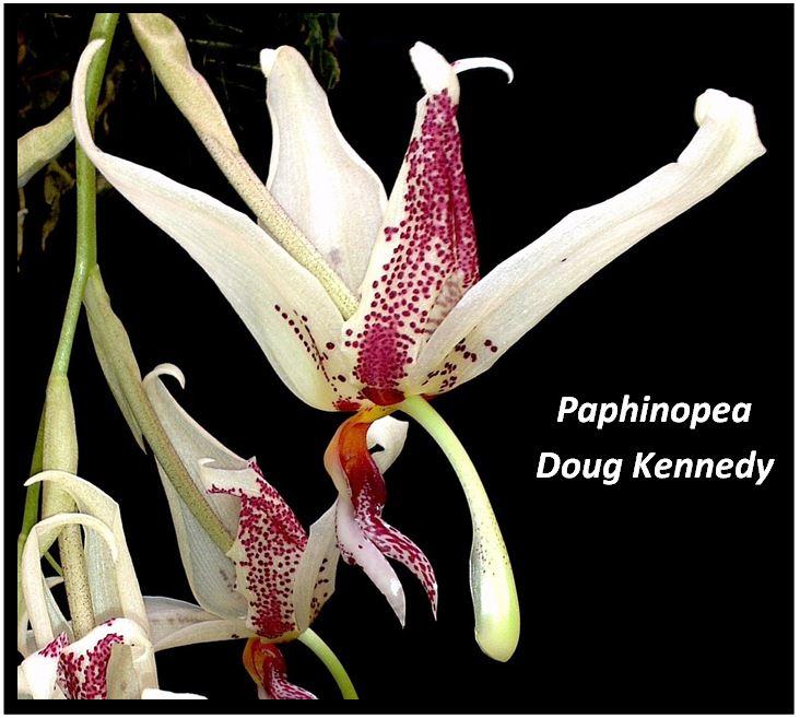 Stanhopea tigrina - Paphinopea Doug Kennedy JPG