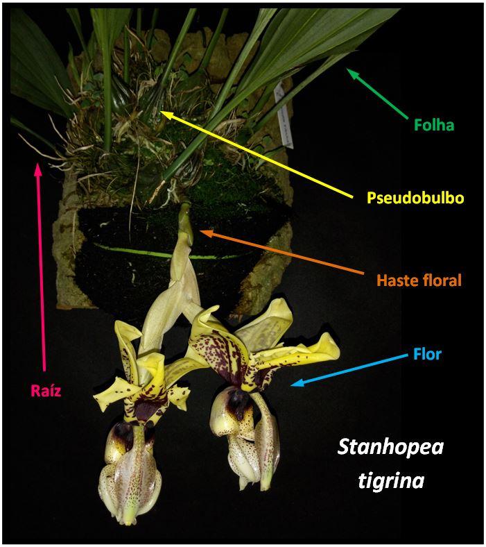 Stanhopea tigrina - planta JPG