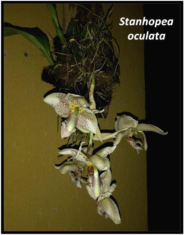 Stanhopea tigrina - Stanhopea oculata JPG
