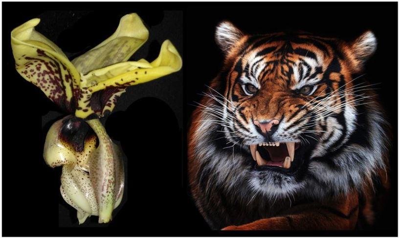 Stanhopea tigrina - tigre JPG